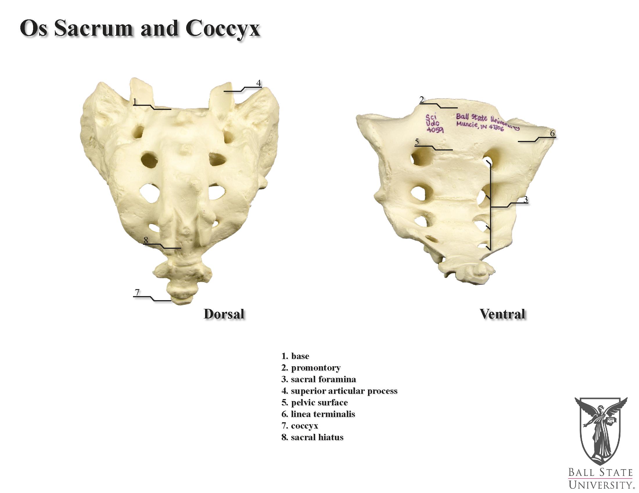 Sacrum And Coccyx Anatomy - Human Anatomy