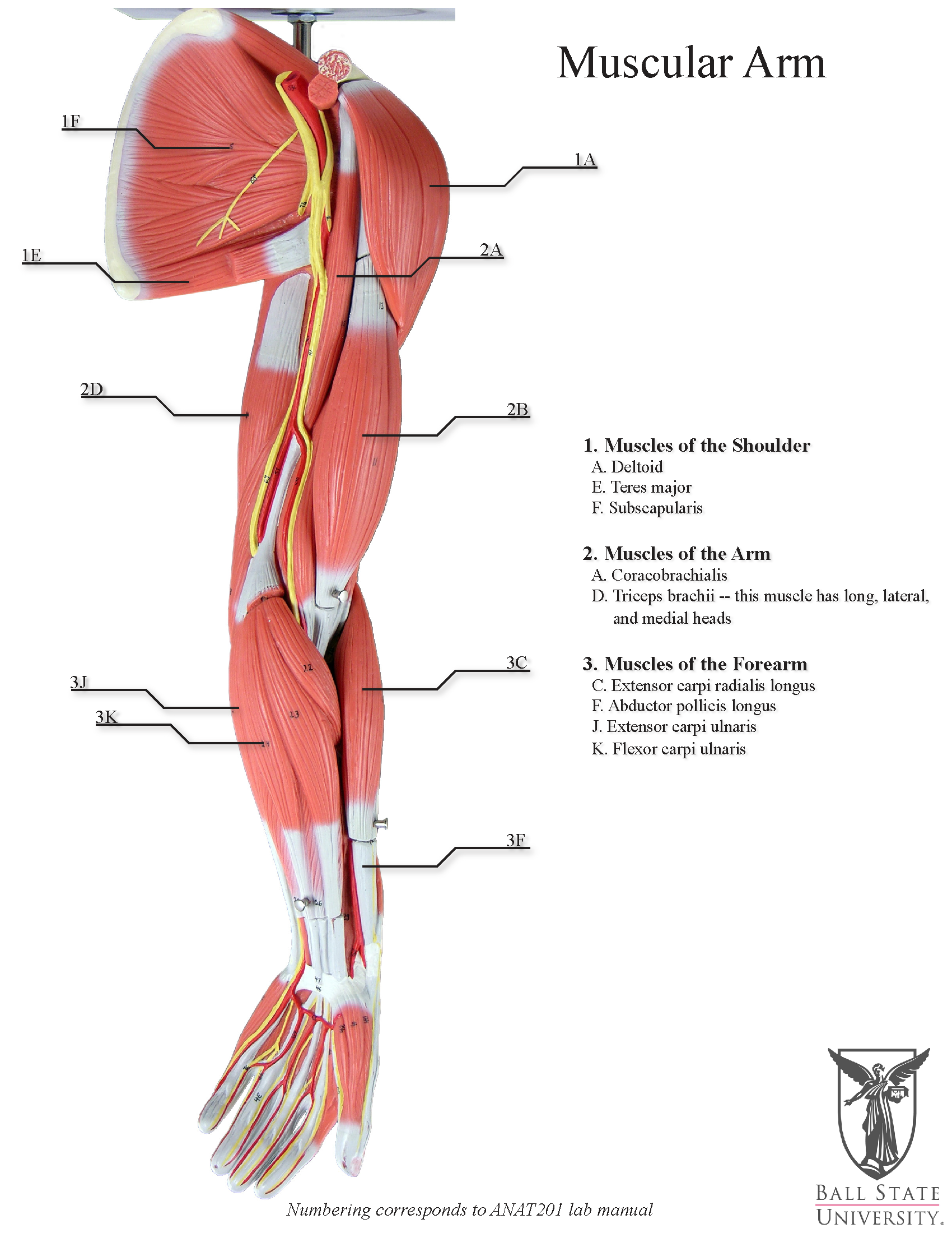 Human Arm Muscles Diagram Anatomical Models Ball State