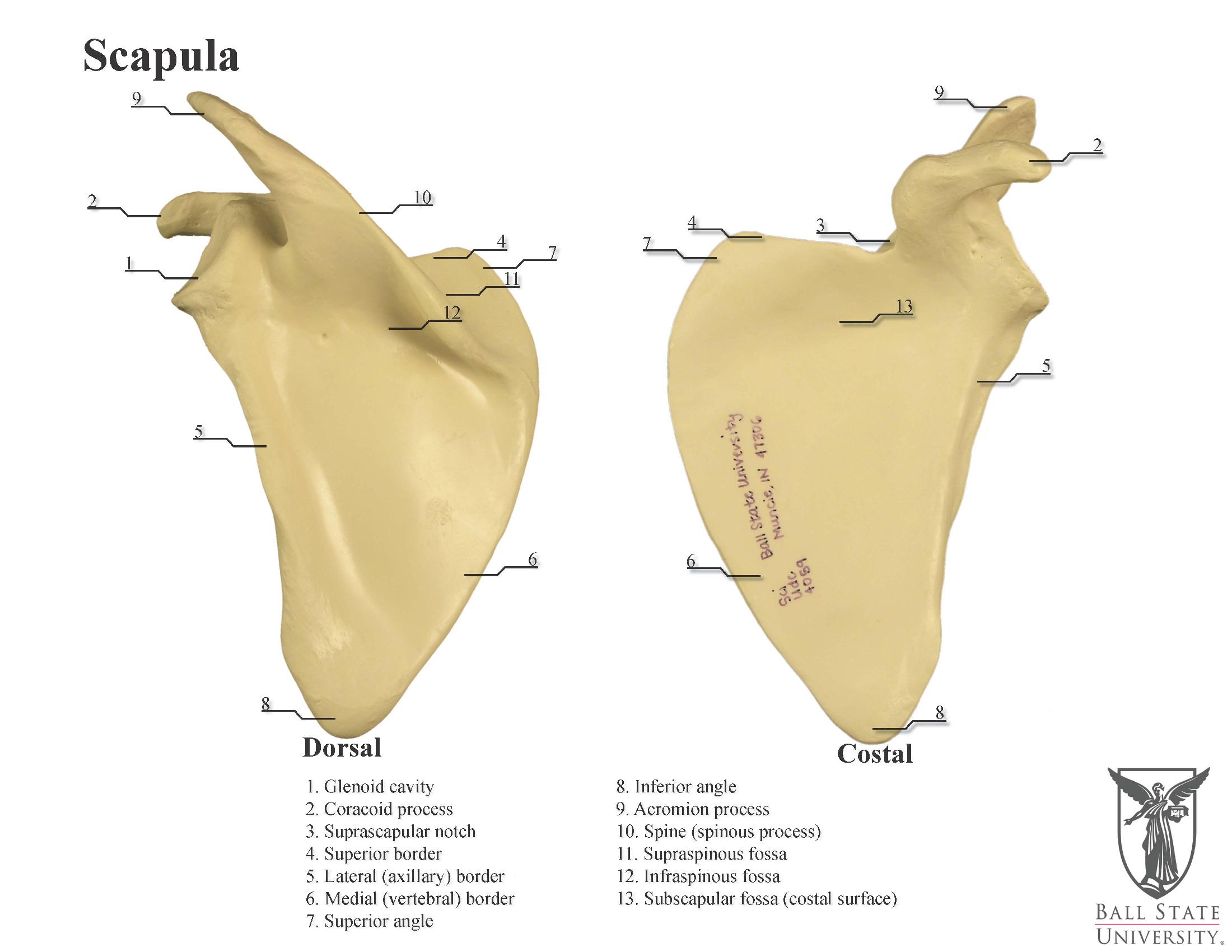 human scapula diagram