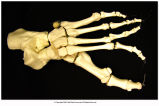 Human foot: Tarsals, metatarsals, phalanges