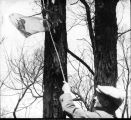 Man catching flicker birds with a net, Arboretum, Ball State Teachers College