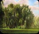 Weeping willow on Muncie Golf Course