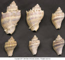 Conch shell (various sizes)