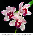 Cymbidium Devon Ranee 'SanBar Black Cherry'