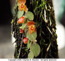 Lepanthes geminipetala