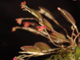 Lepanthes tracheia