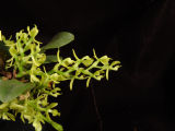 Epidendrum laterale
