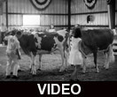 4-H Fair cattle show